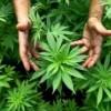 Cannabis, verso la legalizzazione?